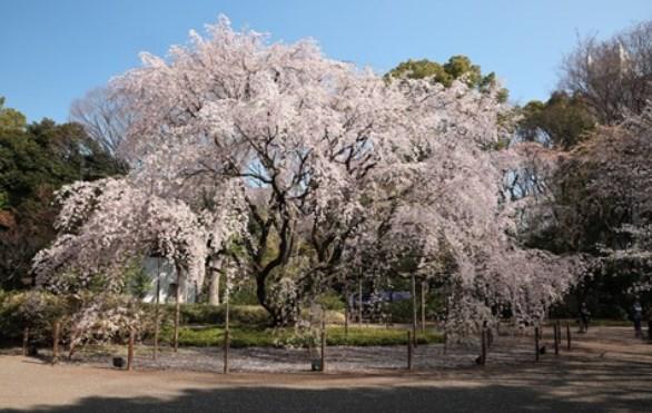 六義園,東京,六義園,花見,2019年,東京,開花予想,穴場,桜