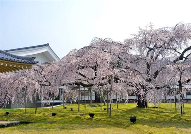 醍醐寺,京都,花見,2019年,京都,開花予想,穴場,桜