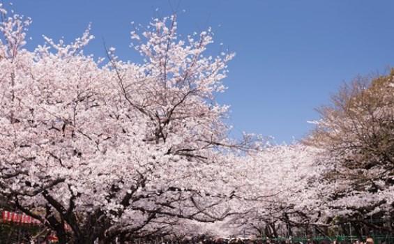 上野公園,東京,花見,2019年,東京,開花予想,穴場,桜