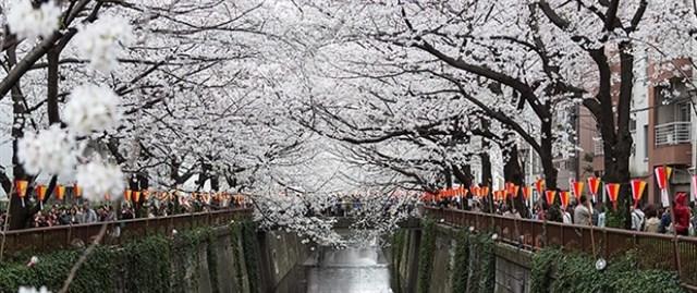 目黒川,東京,花見,2019年,開花予想,穴場,桜