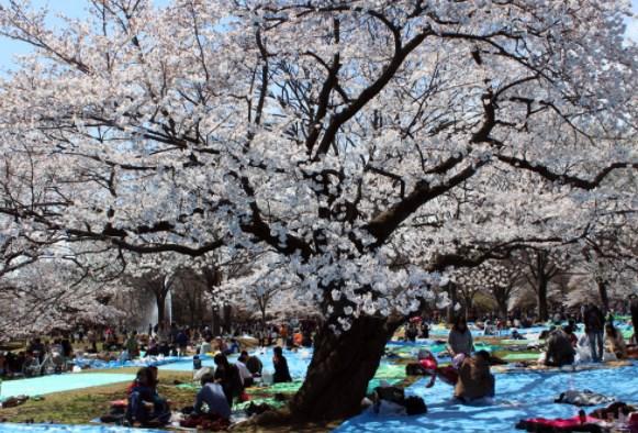 代々木公園,東京,花見,2019年,東京,開花予想,穴場,桜