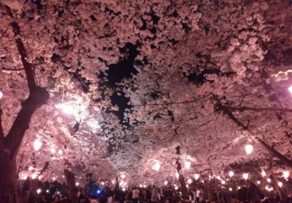 東谷山フルーツパーク,愛知,花見,2019年,愛知,開花予想,穴場,桜