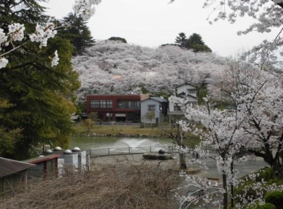 勝盛公園,福岡,花見,2019年,見頃,開花予想,穴場,桜