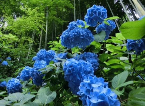 明月院,紫陽花,あじさい,,2019,見頃,時期,祭り,駐車場,開花予想