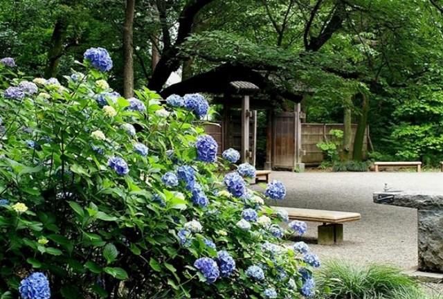 六義園 紫陽花