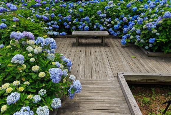 舞鶴自然文化園 紫陽花