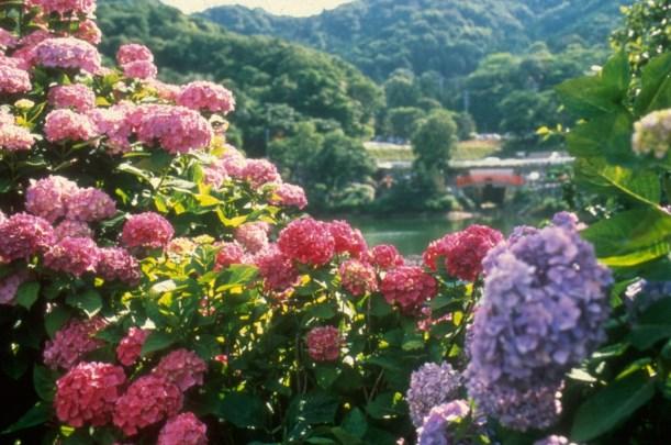 形原温泉 紫陽花