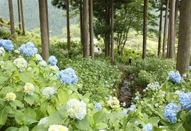 21世紀の森公園 紫陽花