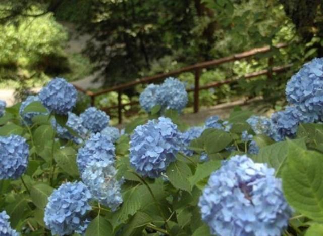 足羽山公園 紫陽花